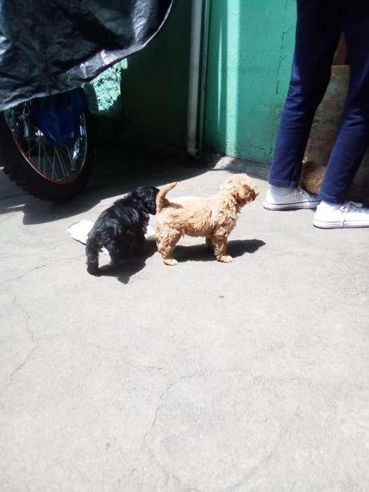 Cachorros de Coker Hembra Y Machos