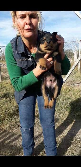 Ultimos 3 Cachorros Rottweilers