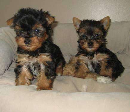La Raza Yorkshire mini cachoritas