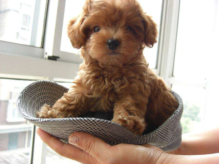 PELUDITOS FRENCH POODLE