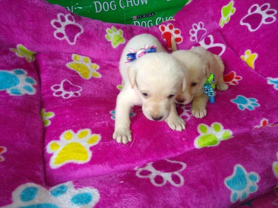 Labradores Un Mes Nacidos