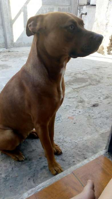 Cachorros American Pitbull Terrier Red
