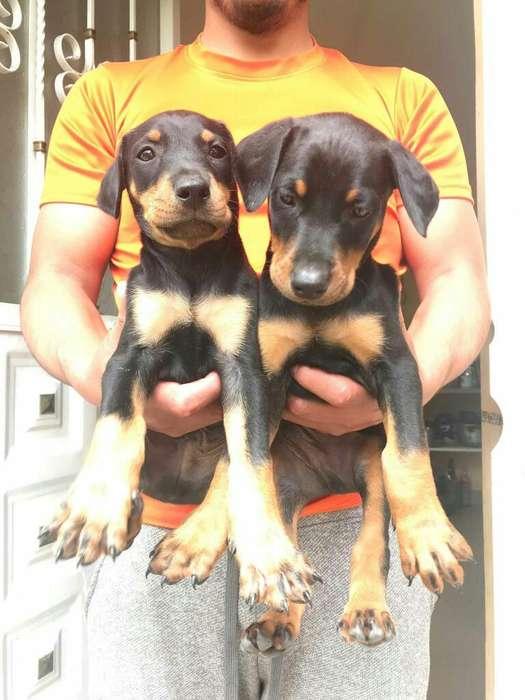 Vendo Cachorros Doberman Del Grande