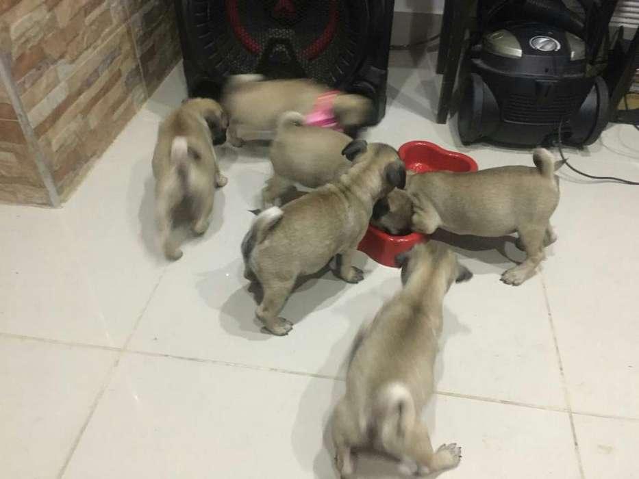 Vendo Cachorritos Pug
