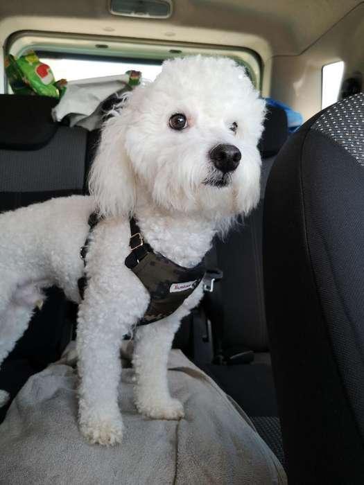 Busco Novia French Poodle