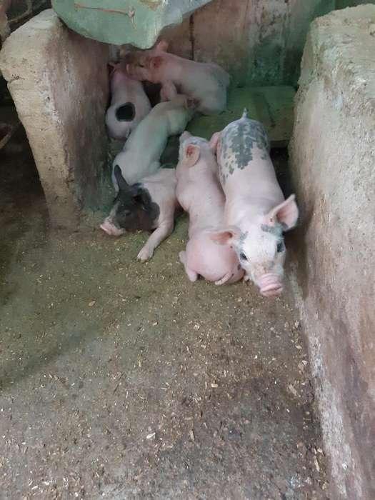 Cerdos Destetos de Muy Buena Rrasa