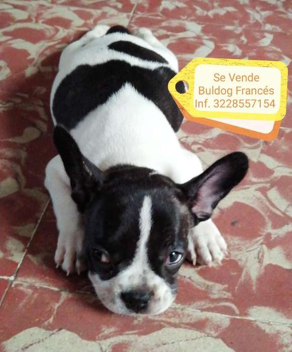 Vendo Bulldog Francés Mes Y Medio Hembra