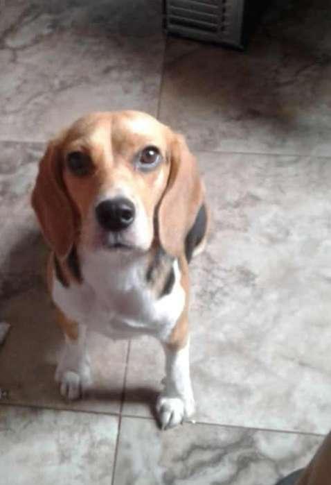 Busco Beagle Puro para Monta