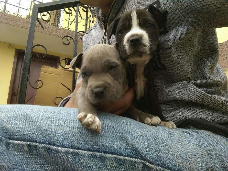 <strong>cachorro</strong>s Pitbull Ambato 0962978058