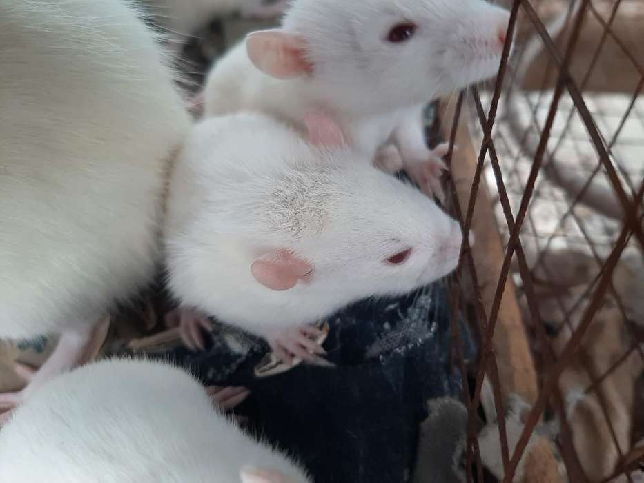 Ratas de Laboratorio Y/o Albinas(vendo)