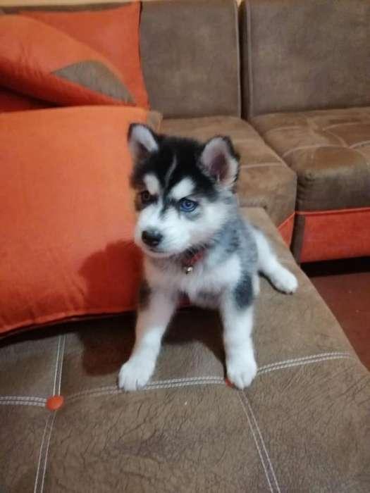 Cachorra de Husky Siberiano