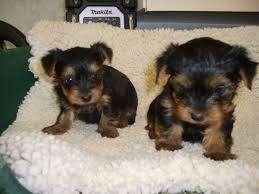 se venden hermosos cachorritos yorkshire <strong>terrier</strong> excelente genética