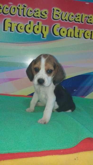 Macho <strong>beagle</strong> Valentim
