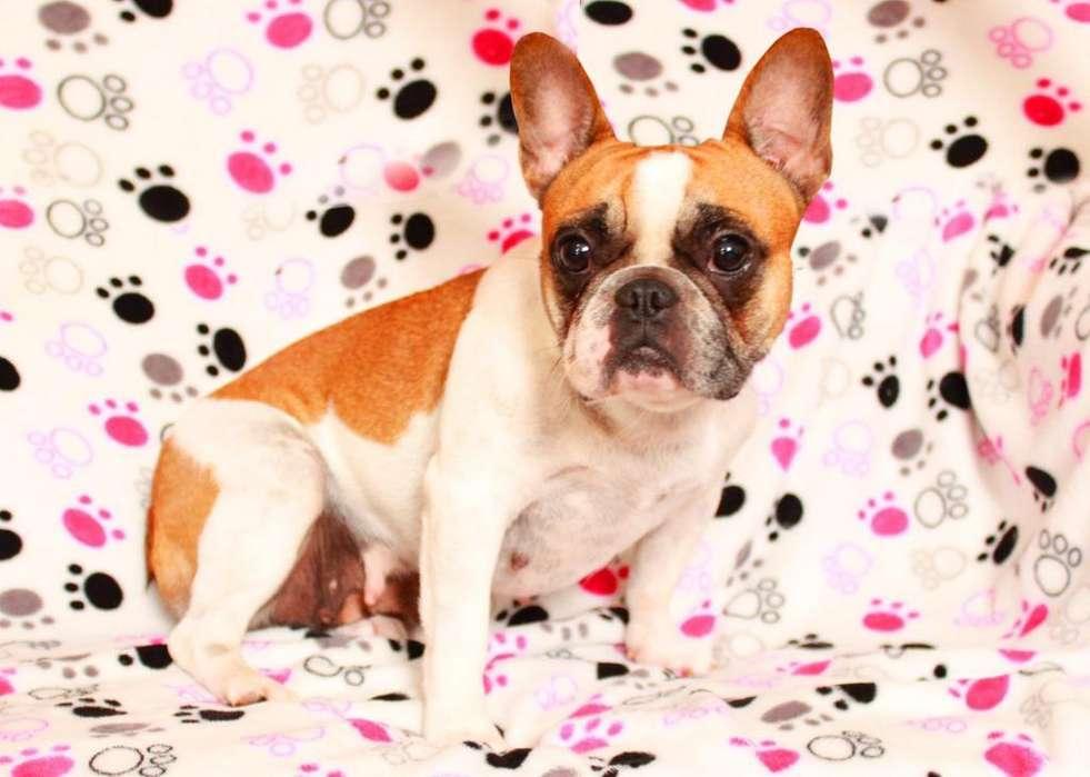 Hermosa <strong>bulldog</strong> Frances