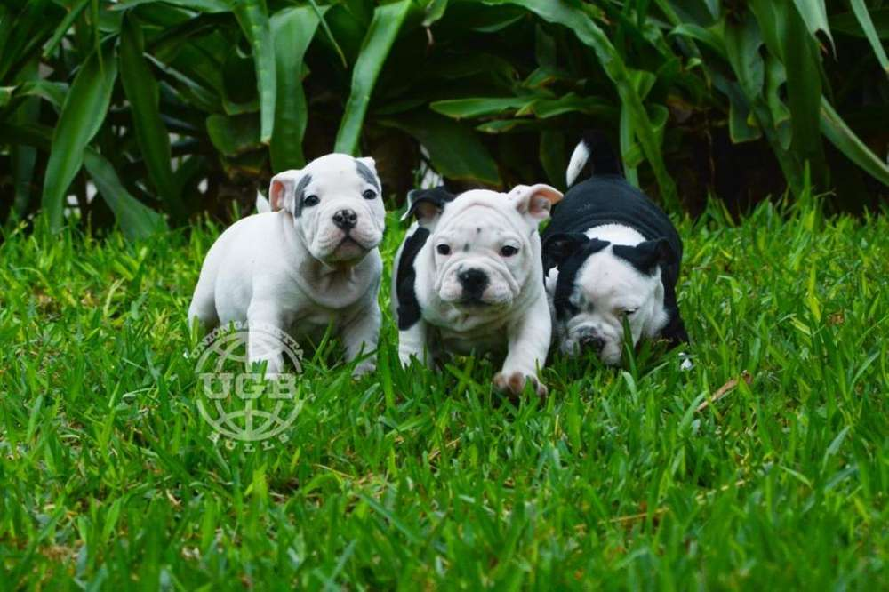 cachorros exotic bully - Amor a primera vista