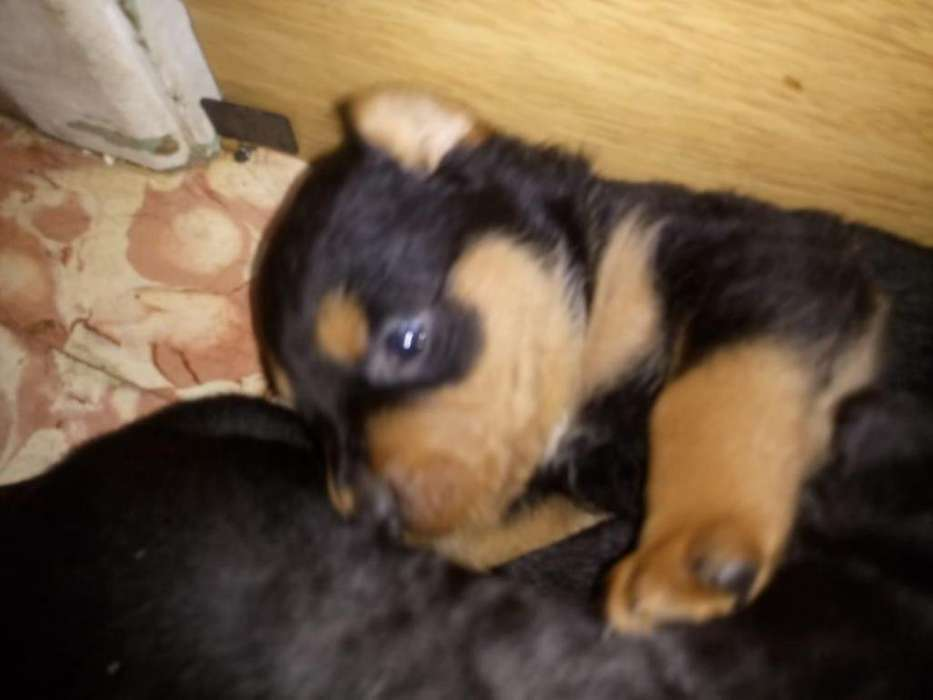 <strong>cachorro</strong>s rottweiler disponible