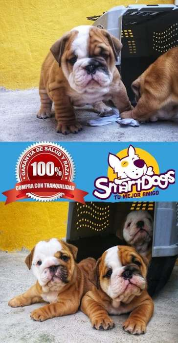 Bulldog Inglés de Criadero en Venta