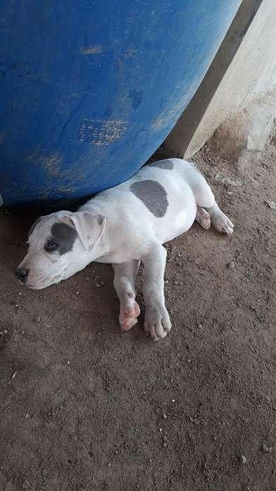 <strong>cachorro</strong>s con Carnet en Venta 2 Meses