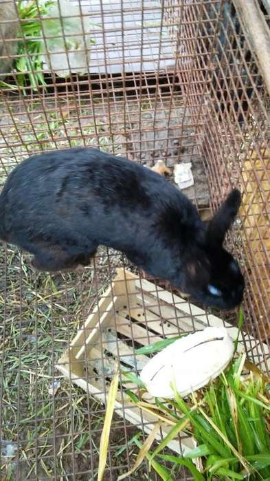 Vendo Conejos Adultos