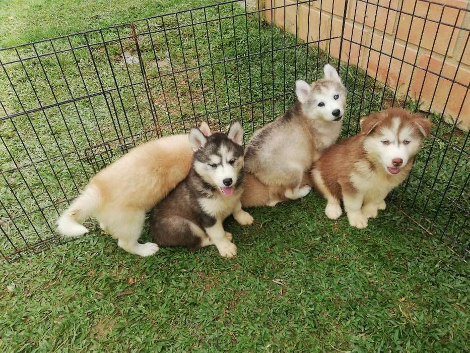 Siberianos Disponibles