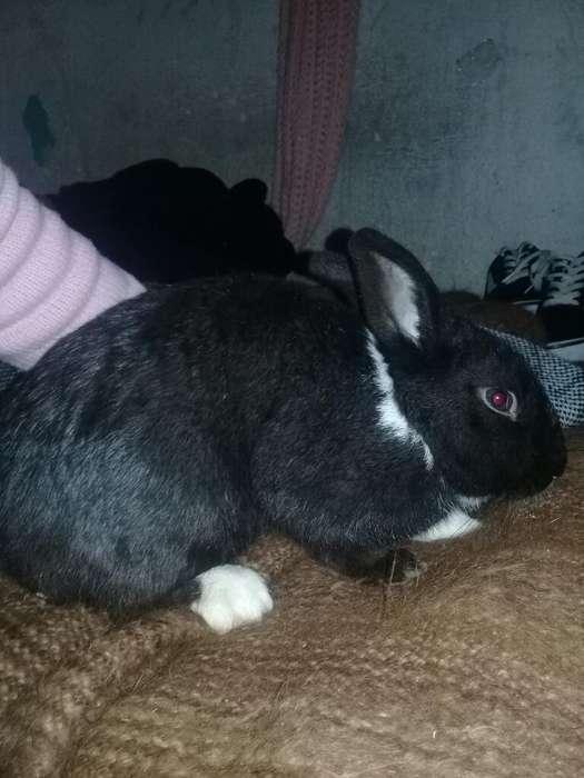 Vendo Conejo Enano