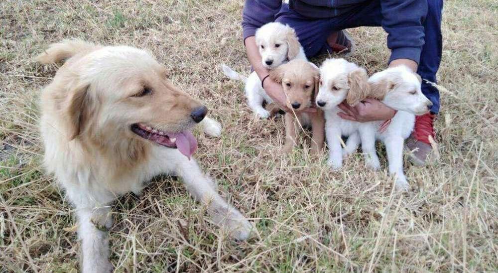 Cachorritas Golden