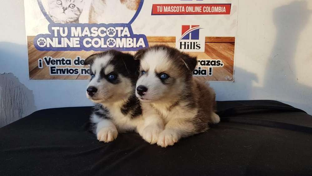 Legales Husky Siberiano Amables