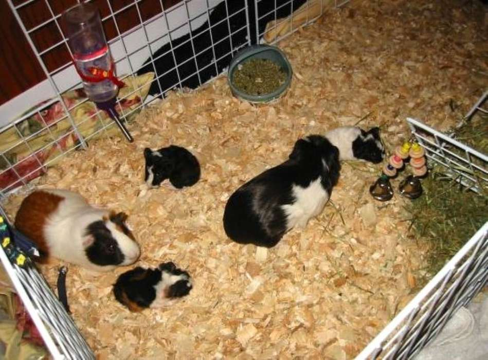 Kilo de Viruta para Conejos, Cobayas,