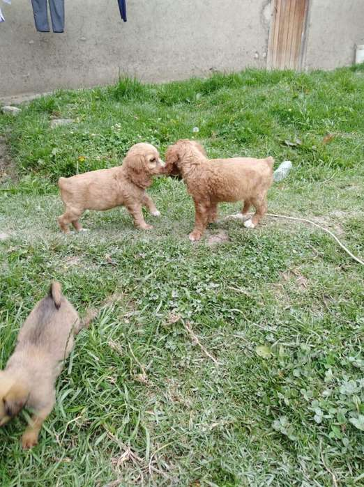 Autnticos Cocker spaniel 939299761