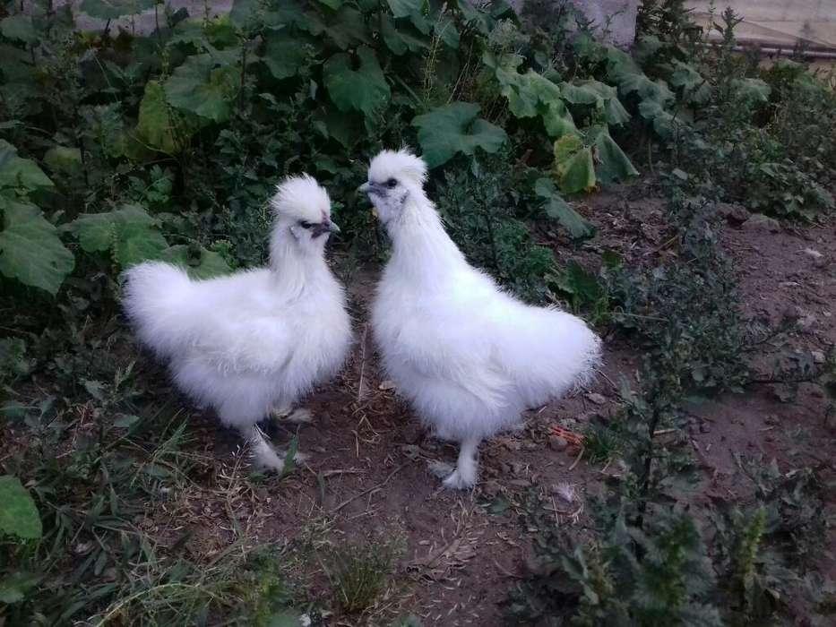 Pareja de <strong>pollos</strong> Sedosos Del Japon