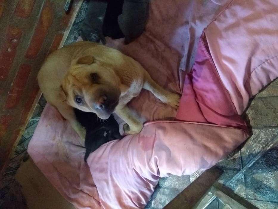 Vendo perros sharpei