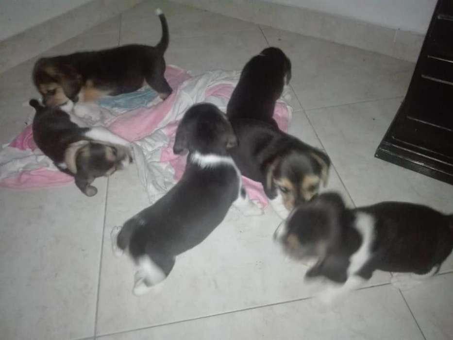 <strong>perros</strong> beagles