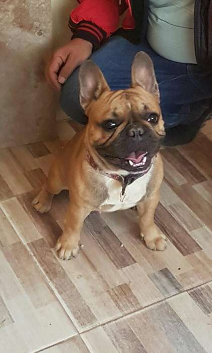 Exelente <strong>bulldog</strong> Frances para Monta