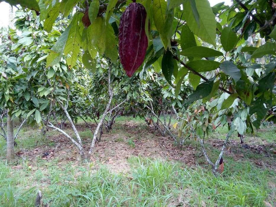 Se Vende 1/4 de Hectarea con Cacao Ramil