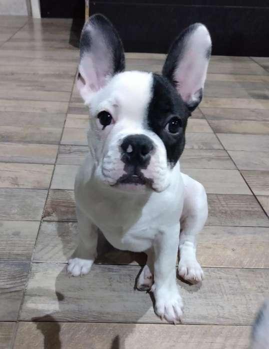 Hermosos Cachorros <strong>bulldog</strong> Francés