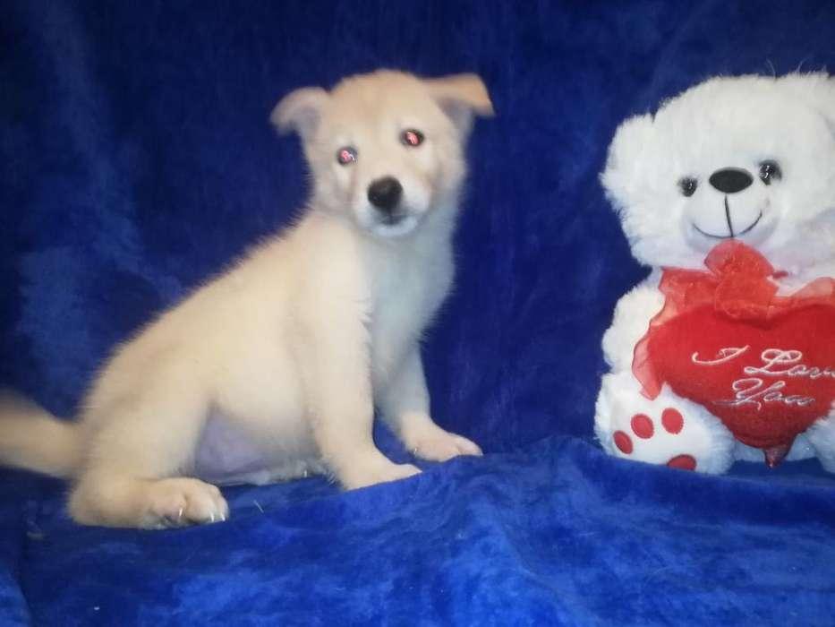 Cachorros Lobos Blancos Ojos Azules