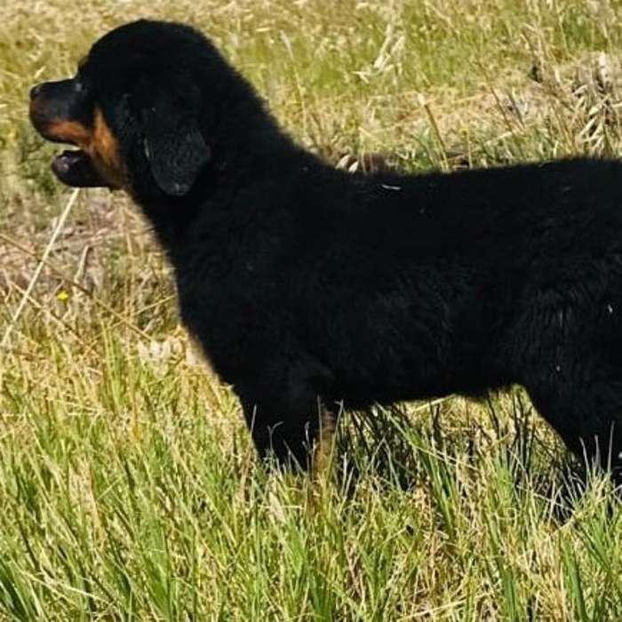 Cachorra de 65 Días