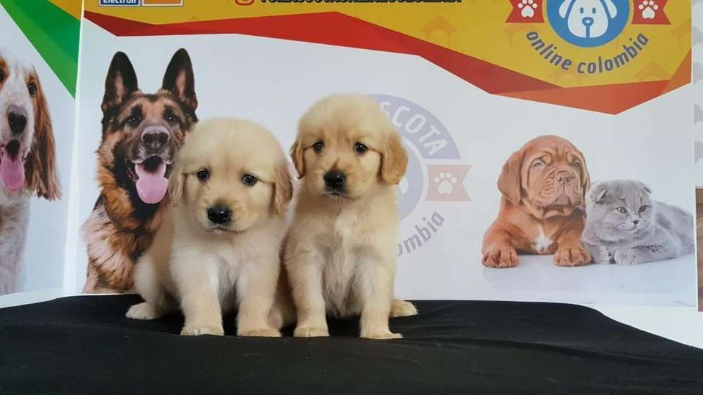 Inteligentes Golden Retriver Espectacula