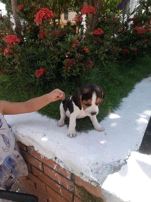 Hermosa <strong>beagle</strong>