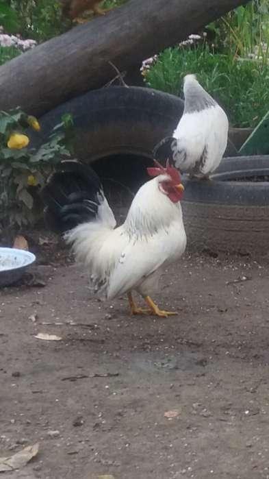Vendo <strong>pollos</strong> kikes..