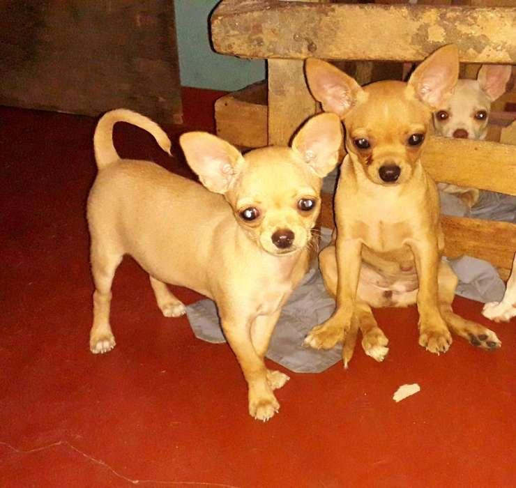 Venta de Chihuahuas
