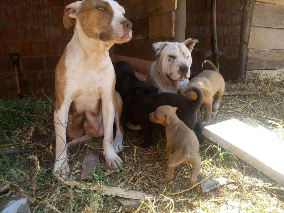 REMATO cachorros AMERICAN STANFORD FUSION