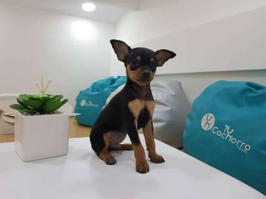 Pinscher somos ese pequeño cachorro adorable TU CACHORRO TIENDA