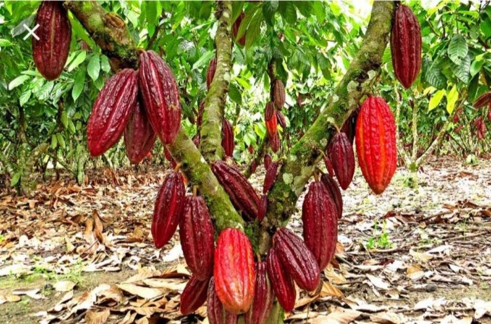 Vendo 3 1/2 de Cacao en La Ercilia