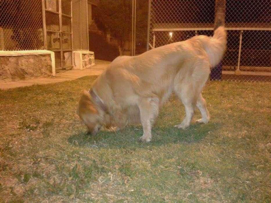 Cachorros Golden Puro Padres Importados