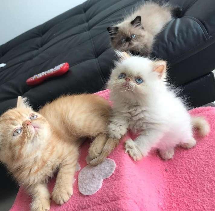 Gatos Persa Cariñoso
