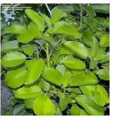 Kalanchoe Plantas ADULTAS 50 cm O MÀS