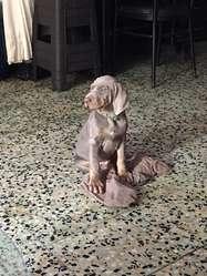 Cachorros Braco de dos meses