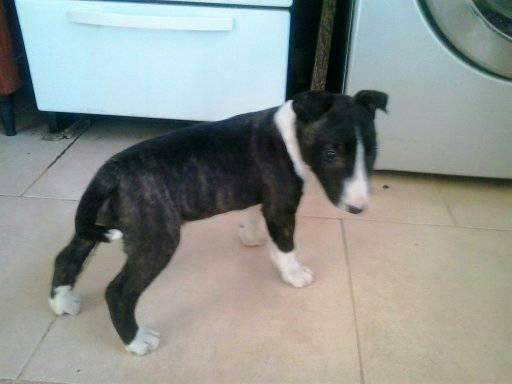 Cachorra Bull Terrier