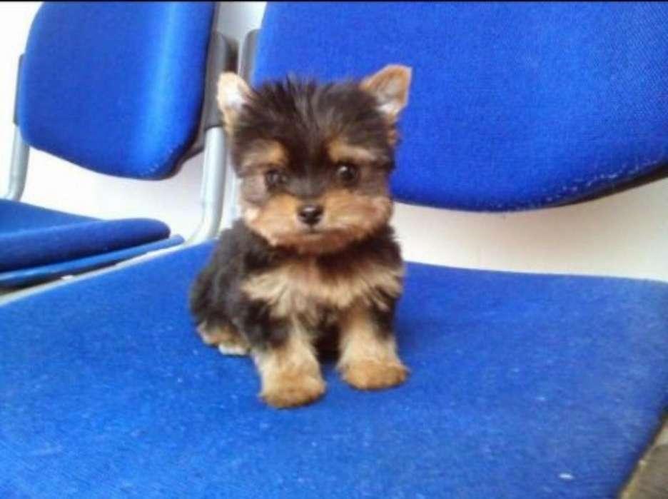Cachorros Yorkshire <strong>terrier</strong> Mini. Envíos